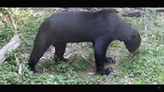 Virginia Zoo Sun Bear (V2)