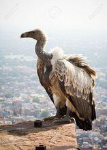 White-backed vulture.jpg