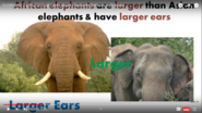 African Elephants Are Much Larger Than Asian Elephants and Have Larger Ears