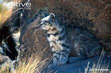Andean-cat.jpg