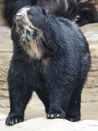 Bear, Spectacled (V2)