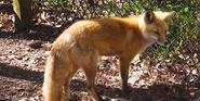 Birmingham Zoo Fox