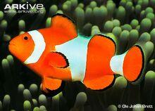 Common-clownfish-side-view.jpg