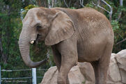 Elephant-SD-zoo