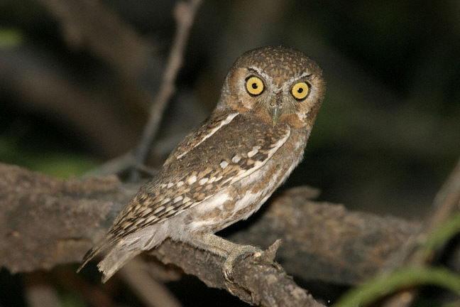 Elf Owl