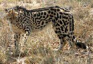 King-cheetah esc-0341g