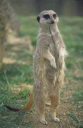 Mongoose, Meerkat