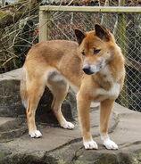 New-Guinea-Singing-Dog-2