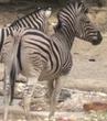 Phelidelphia Zoo Zebra