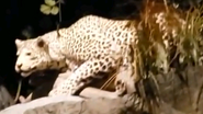 Rolling Hills Zoo Leopard