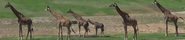San Diego Zoo Safari Park Giraffes