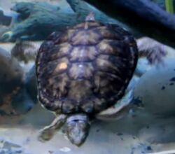 Turtle oregon zoo.jpg