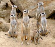 Colony of Meerkats