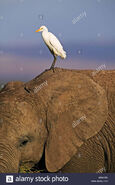 Egret On Elephant's Ear