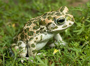 European-Green-Toads.jpg