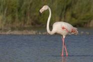 Flamingo, Greater