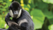Gibbon, Southern White-Cheeked