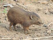 Hog, Pygmy