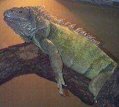 Iguana, Green.jpg