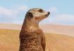 Meerkat-planet-zoo