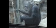 Toledo Zoo Chimpanzee