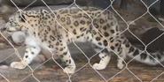 Toledo Zoo Snow Leopard