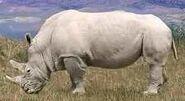 White rhinoceros switch zoo