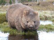 Wombat Image sarcoptic mange slider