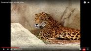 Animal Atlas Jaguar