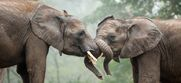Elephants sparring