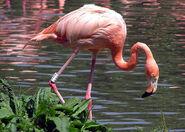 Flamingo, American