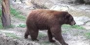 Houston Zoo Bear