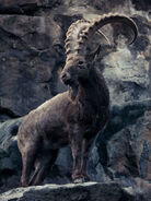Ibex, Siberian