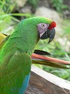 Macaw, Military (V2)
