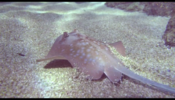 Mako Mermaids Stingray.png