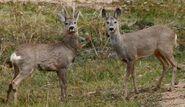 Roe Deer Buck and Doe