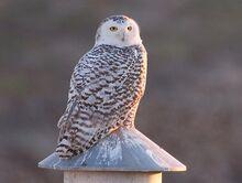 Snowy Owl Mike Andersen.jpg