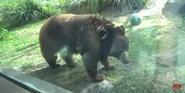 Zoo Miami Bear