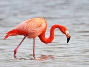 American Flamingo (V2)