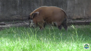 Baton Rouge Zoo Red River Hog