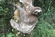 Brown-throated sloth (Bradypus variegatus)