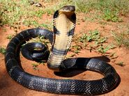 Cobra, King