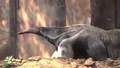 Greenville Zoo Anteater
