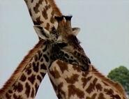 HugoSafari - Giraffe15