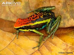 Oxapampa Poison Frog
