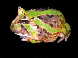 Caatinga Horned Frog