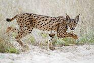 Iberian-lynx-01-web-new