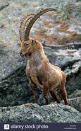 Ibex, Alpine