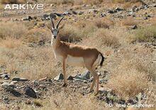 Male-goitered-gazelle.jpg