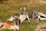 Mob of red kangaroos